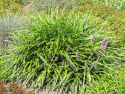 Lily Turf (Liriope spicata) at New Garden Landscaping & Nursery