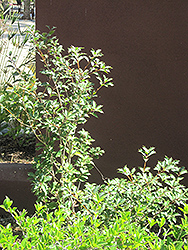 San Jose Sweet Olive (Osmanthus x fortunei 'San Jose') at New Garden Landscaping & Nursery