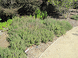 Creeping Germander (Teucrium chamaedrys) at New Garden Landscaping & Nursery
