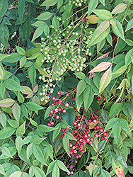 Nandina (Nandina domestica) at New Garden Landscaping & Nursery