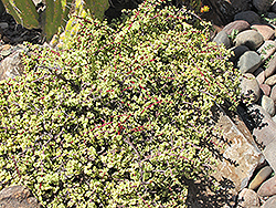 Variegated Elephant Food (Portulacaria afra 'Variegata') at New Garden Landscaping & Nursery