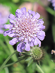 Butterfly Blue Pincushion Flower (Scabiosa 'Butterfly Blue') at New Garden Landscaping & Nursery