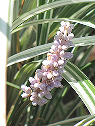 Silver Dragon Lily Turf (Liriope spicata 'Silver Dragon') at New Garden Landscaping & Nursery