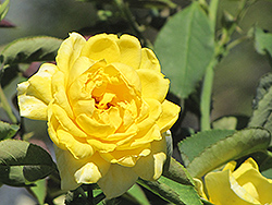 Mellow Yellow Rose (Rosa 'Mellow Yellow') at New Garden Landscaping & Nursery