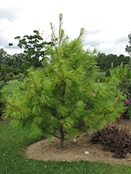 Louie Eastern White Pine (Pinus strobus 'Louie') at New Garden Landscaping & Nursery