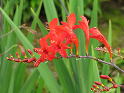 Lucifer Crocosmia (Crocosmia 'Lucifer') at New Garden Landscaping & Nursery