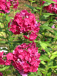 Nicky Garden Phlox (Phlox paniculata 'Nicky') at New Garden Landscaping & Nursery