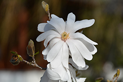 Star Magnolia (Magnolia stellata) at New Garden Landscaping & Nursery