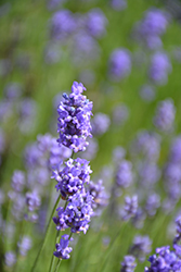 Hidcote Blue Lavender (Lavandula angustifolia 'Hidcote Blue') at New Garden Landscaping & Nursery