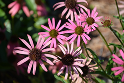 Rocky Top Coneflower (Echinacea tennesseensis 'Rocky Top') at New Garden Landscaping & Nursery