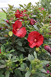 Cranberry Crush Hibiscus (Hibiscus 'Cranberry Crush') at New Garden Landscaping & Nursery