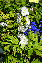 Guardian White Larkspur (Delphinium 'Guardian White') at New Garden Landscaping & Nursery
