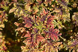 Under The Sea™ Copper Coral Coleus (Solenostemon scutellarioides 'Copper Coral') at New Garden Landscaping & Nursery