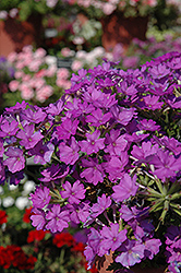 Aztec Magic Grape Verbena (Verbena 'Aztec Magic Grape') at New Garden Landscaping & Nursery