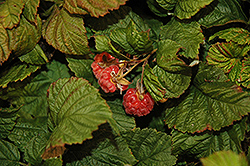 Raspberry Shortcake® Raspberry (Rubus 'NR7') at New Garden Landscaping & Nursery