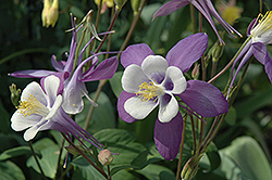 McKana Purple Columbine (Aquilegia 'McKana Purple') at New Garden Landscaping & Nursery