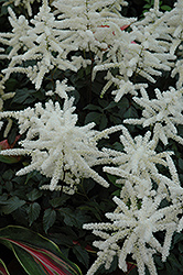 Washington Astilbe (Astilbe japonica 'Washington') at New Garden Landscaping & Nursery