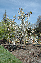 Chojuro Asian Pear (Pyrus pyrifolia 'Chojuro') at New Garden Landscaping & Nursery