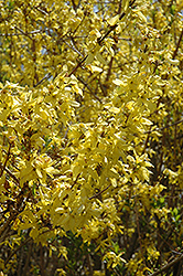 Spring Glory Forsythia (Forsythia x intermedia 'Spring Glory') at New Garden Landscaping & Nursery