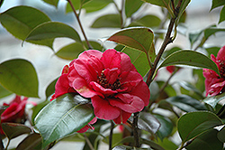 April Tryst Camellia (Camellia japonica 'April Tryst') at New Garden Landscaping & Nursery