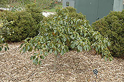 Wheel Tree (Trochodendron aralioides) at New Garden Landscaping & Nursery