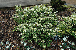 Drops Of Gold Japanese Holly (Ilex crenata 'Drops Of Gold') at New Garden Landscaping & Nursery