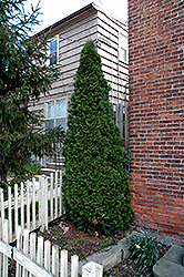 Dark Green Arborvitae (Thuja occidentalis 'Nigra') at New Garden Landscaping & Nursery