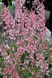 Oakleaf Foamflower (Tiarella 'Oakleaf') at New Garden Landscaping & Nursery