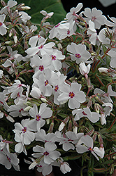 Amazing Grace Moss Phlox (Phlox subulata 'Amazing Grace') at New Garden Landscaping & Nursery