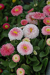Tasso Strawberries And Cream English Daisy (Bellis perennis 'Tasso Strawberries And Cream') at New Garden Landscaping & Nursery