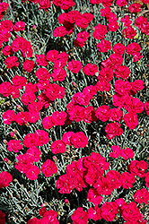 Frosty Fire Pinks (Dianthus 'Frosty Fire') at New Garden Landscaping & Nursery