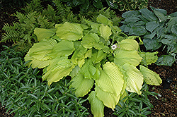 Dancing Queen Hosta (Hosta 'Dancing Queen') at New Garden Landscaping & Nursery