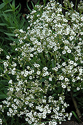Festival™ Star Baby's Breath (Gypsophila paniculata 'Festival Star') at New Garden Landscaping & Nursery