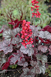 Hollywood Coral Bells (Heuchera 'Hollywood') at New Garden Landscaping & Nursery