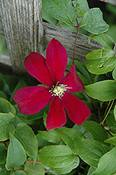 Sunset Clematis (Clematis 'Sunset') at New Garden Landscaping & Nursery