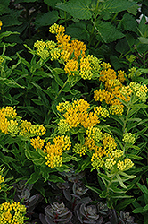 Hello Yellow Milkweed (Asclepias tuberosa 'Hello Yellow') at New Garden Landscaping & Nursery