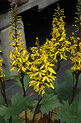 Little Rocket Rayflower (Ligularia 'Little Rocket') at New Garden Landscaping & Nursery