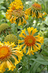 Commotion Moxie Blanket Flower (Gaillardia x grandiflora 'Commotion Moxie') at New Garden Landscaping & Nursery