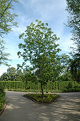 Pecan (Carya illinoinensis) at New Garden Landscaping & Nursery