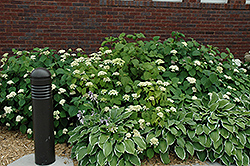 White Dome Hydrangea (Hydrangea arborescens 'White Dome') at New Garden Landscaping & Nursery