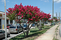 Tuskegee Crapemyrtle (Lagerstroemia 'Tuskegee') at New Garden Landscaping & Nursery