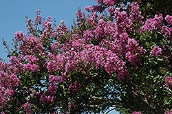 Catawba Crapemyrtle (Lagerstroemia indica 'Catawba') at New Garden Landscaping & Nursery