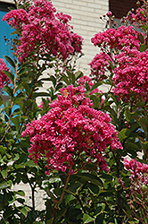 Miami Crapemyrtle (Lagerstroemia 'Miami') at New Garden Landscaping & Nursery