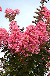 Sioux Crapemyrtle (Lagerstroemia 'Sioux') at New Garden Landscaping & Nursery
