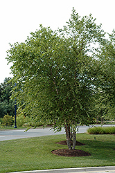 River Birch (clump) (Betula nigra '(clump)') at New Garden Landscaping & Nursery