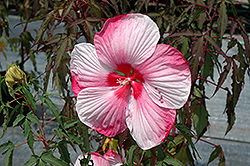 Turn Of The Century Hibiscus (Hibiscus 'Turn Of The Century') at New Garden Landscaping & Nursery