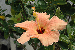 Peach Hibiscus (Hibiscus rosa-sinensis 'Peach') at New Garden Landscaping & Nursery