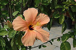 Salmon Hibiscus (Hibiscus rosa-sinensis 'Salmon') at New Garden Landscaping & Nursery
