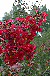 Arapaho Crapemyrtle (Lagerstroemia 'Arapaho') at New Garden Landscaping & Nursery