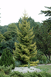 Skylands Golden Spruce (Picea orientalis 'Skylands') at New Garden Landscaping & Nursery